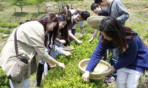Boseong žalios arbatos festivalis [www.hkbs.co.kr]