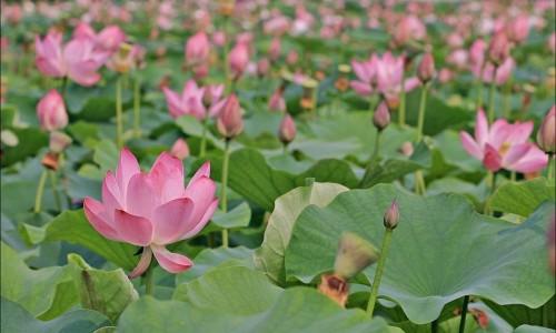 Buyeo Seodong lotosų festivalis [www.abyul.com]