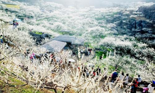 Tarptautinis Gwangyang slyvų žydėjimo festivalis [www.nemopan.com]