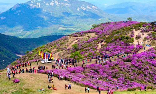 Hapcheon Hwangmaesan karališkųjų azalijų festivalis [www.mcst.go.kr]